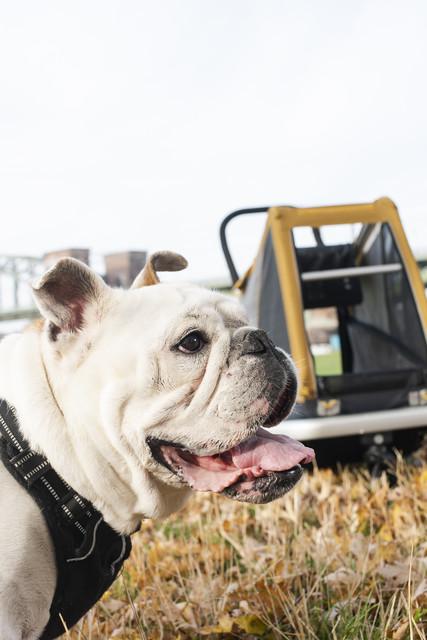 Croozer Dog L Dog Trailer corn yellow - Cykelvagnar för Hund